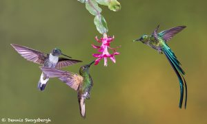9099 Buff-tailed Coronet, Collard Inca and Violet-tailed Sylph, Ecuador