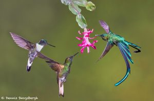 9100 Buff-tailed Coronet, Collard Inca and Violet-tailed Sylph, Tandyapa Bird Lodge, Ecuador