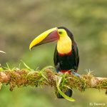 8451 Chestnut-mandibled Toucan (Ramphastos swainsonii), Laguna del Lagarto Lodge, Costa Rica