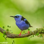 8933 Male Red-legged Honeycreeper (Cyanerpes cyaneus), Laguna del Lagarto Lodge, Costa Rica