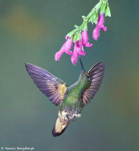 9102 Buff-tailed Coronet (Boissonneauna flacescens), Tandayapa Bird Lodge, Ecuador