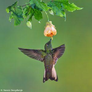 9106 Buff-tailed Coronet (Boissonneauna flacescens), Tandayapa Bird Lodge, Ecuador