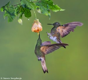 9107 Buff-tailed Coronet (Boissonneauna flacescens), Tandayapa Bird Lodge, Ecuador