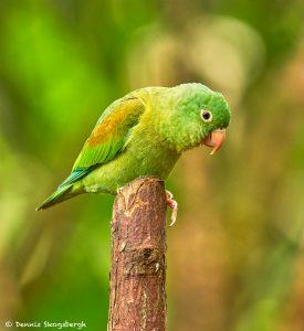 8936 Orange-chinned Parakeet (Bolborhynchus lineola), Laguna del Lagarto Lodge, Costa Rica