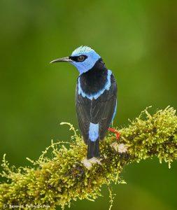 8939 Male Red-legged Honeycreeper (Cyanerpes cyaneus), Laguna del Lagarto Lodge, Costa Rica
