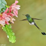 9008 Booted Racket-tail Hummingbird (Ocreatus underwoodii), Tandayapa Bird Lodge, Ecuador