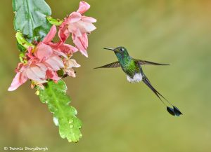 9008 Booted Racket-tail Hummingbird (Ocreatus underwoodii), Tandayapa Bird Lodge, Ecuador