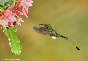 9007 Booted Racket-tail Hummingbird (Ocreatus underwoodii), Tandayapa Bird Lodge, Ecuador