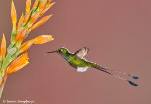 9006 Booted Racket-tail Hummingbird (Ocreatus underwoodii), Tandayapa Bird Lodge, Ecuador