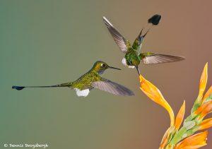 9005 Booted Racket-tail Hummingbird (Ocreatus underwoodii), Tandayapa Bird Lodge, Ecuador