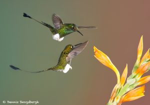 9003 Booted Racket-tail Hummingbird (Ocreatus underwoodii), Tandayapa Bird Lodge, Ecuador