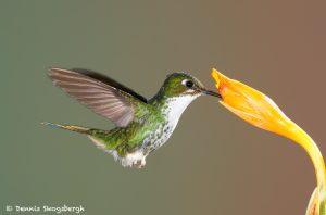 9001 Booted Racket-tail Hummingbird (Ocreatus underwoodii), Tandayapa Bird Lodge, Ecuador