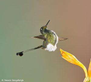 8999 Booted Racket-tail Hummingbird (Ocreatus underwoodii), Tandayapa Bird Lodge, Ecuador