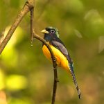 8905 Black-throated Trogon (Trogon rufus), Costa Rica