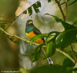 8956 Black-throated Trogon (Trogon rufus), Costa Rica
