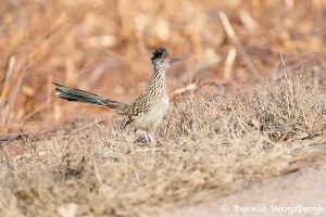 8419 Greater Roadrunner (Geococcyx californianus), Bosque del Apache, NM