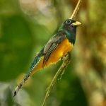 8906 Black-throated Trogon (Trogon rufus), Costa Rica