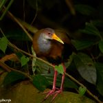 8876 Gray-necked Wood-rail (Aramides cajanea), Costa Rica