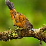 8883 Female Scarlet-rumped Tanager (Ramphocelus passerinii), Costa Rica