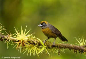 8878 Dusky-faced Tanager (Mitrospingus cassinii), Costa Rica