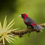 8880 Crimson-collard Tanager (Ramphocelus sanguinolentus), Costa Rica