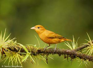 8886 Summer Tanager (Piranga rubra), Costa Rica