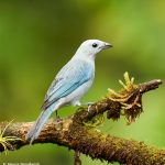 8881 Blue-gray Tanager (Thraupis episcopus), Costa Rica