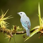 8882 Blue-gray Tanager (Thraupis episcopus), Costa Rica