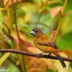 8884 Female Scarlet-rumped Tanager (Ramphocelus passerinii), Costa Rica