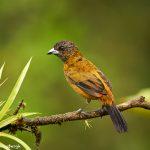 8885 Female Scarlet-rumped Tanager (Ramphocelus passerinii), Costa Rica