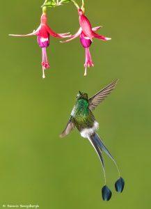 8997 Booted Racket-tail Hummingbird (Ocreatus underwoodii), Tandayapa Bird Lodge, Ecuador