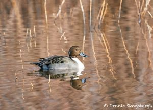 8420 Male Northern Pintail (Anas acute), Bosque del Apache, NM