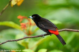 8890 Scarlet-rumped Tanager (Ramphocelus passerinii), Costa Rica