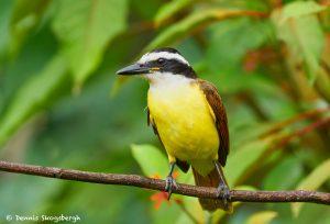8960 Great Kiskadee (Megarhynchus pitangua), Costa Rica
