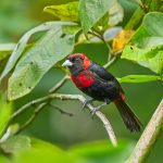 8961 Immature Crimson-collard Tanager (Ramphocelus sanguinolentus), Costa Rica
