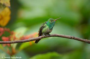 8865 Rufous-tailed Hummingbird (Amazilia tzacatl), Costa Rica