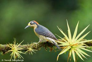 8891 Black-cheeked Woodpecker (Melanerpes pucherani), Costa Rica