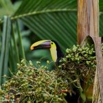 8964 Chestnut-mandibled Toucan (Ramphastos swainsonii), Costa Rica
