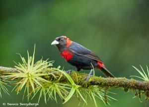 8965 Immature Crimson-collard Tanager (Ramphocelus sanguinolentus), Costa Rica