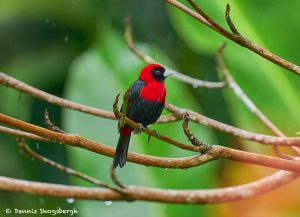 8967 Crimson-collard Tanager (Ramphocelus sanguinolentus), Costa Rica