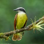8893 Great Kiskadee (Megarhynchus pitangua), Costa Rica