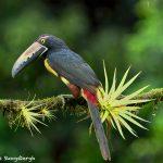 8904 Collared Aracari (Pteroglossus torquatus), Costa Rica
