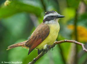 8894 Great Kiskadee (Megarhynchus pitangua), Costa Rica