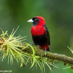 8895 Crimson-collard Tanager (Ramphocelus sanguinolentus), Costa Rica
