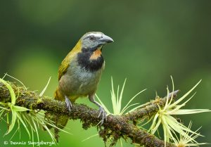8968 Buff-throated Saltator (Saltator maximus), Costa Rica