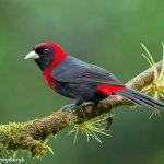8896 Crimson-collard Tanager (Ramphocelus sanguinolentus), Costa Rica