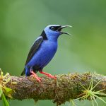 8969 Male Red-legged Honeycreeper (Cyanerpes cyaneus), Costa Rica