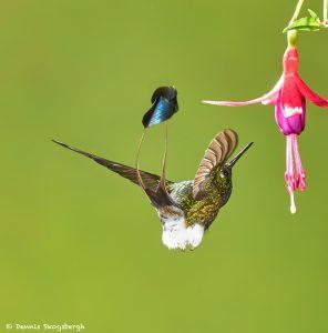 8995 Booted Racket-tail Hummingbird (Ocreatus underwoodii), Tandayapa Bird Lodge, Ecuador