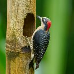 8898 Black-cheeked Woodpecker (Melanerpes pucherani), Costa Rica