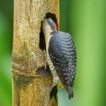 8899 Black-cheeked Woodpecker (Melanerpes pucherani), Costa Rica